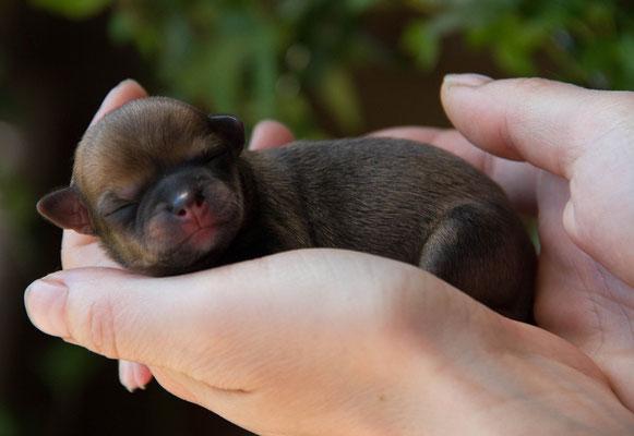 Chi-Love.de | Trächtigkeit und Geburt beim Chihuahua| Chihuahuawelpen