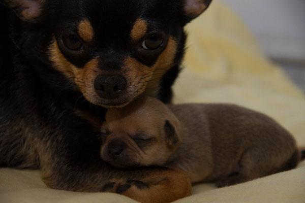 Chi-Love.de |Chihuahuahündin säugt Welpen