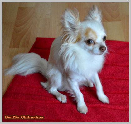 Chi-Love.de | BLOG | Magazin | Chihuahua | Beschaeftigung-bei-schlechtem-Wetter