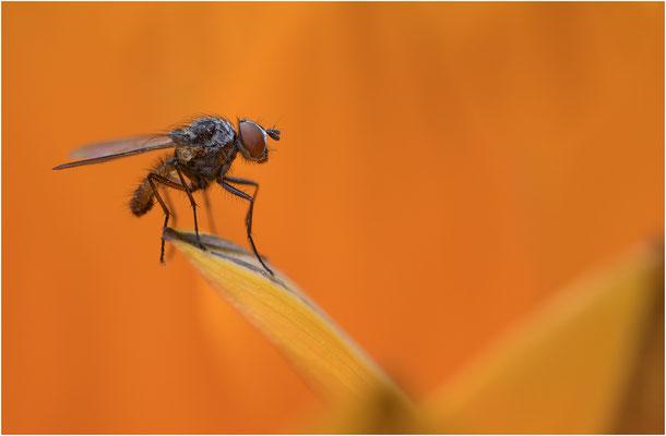 Fliege an Blütenblatt