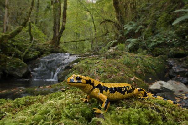 Salamandre au ruisseau de la Génie