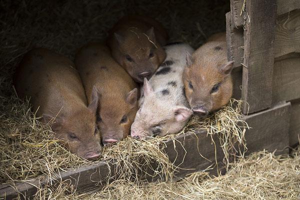 Tierfotografie, Hoftiere, Schweine, Ferkel
