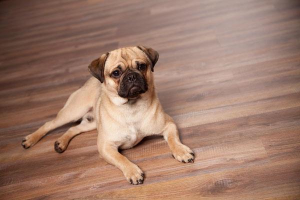 Tierfotografie, Hundeportrait, Hund, Retro Mops, Fotostudio