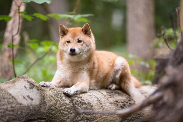 Tierfotografie, Hundeportrait, Hund, Shiba Inu, Outdoor