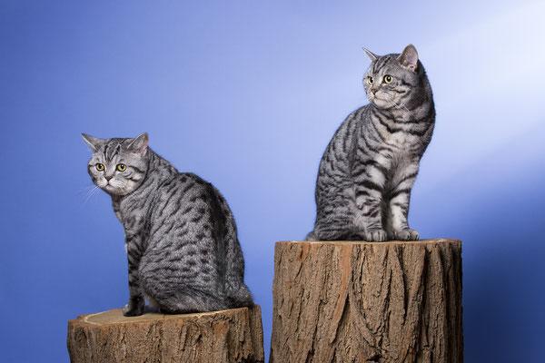 Tierfotografie, Katzenportrait, Katze, Fotostudio