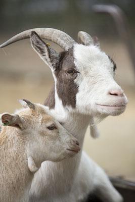 Tierfotografie, Hoftiere, Ziegen