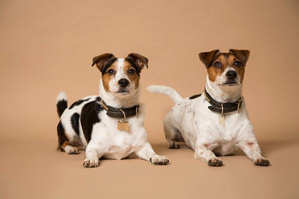 Tierfotografie, Hundeportrait, Hunde, Jack Russel, Fotostudio