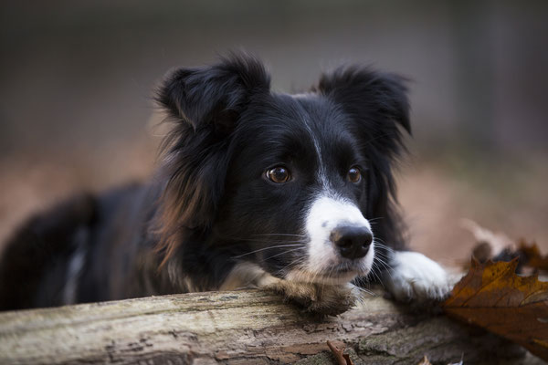 Tierfotografie, Hundeportrait, Hund, Border Collie, Outdoor