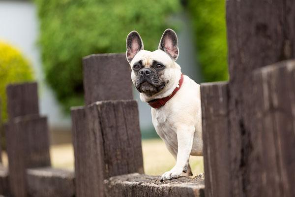 Tierfotografie, Hundeportrait, Hund, Französische Bulldogge, Outdoor