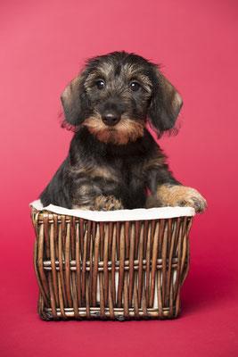 Tierfotografie, Hundeportrait, Hund, Dackel, Fotostudio