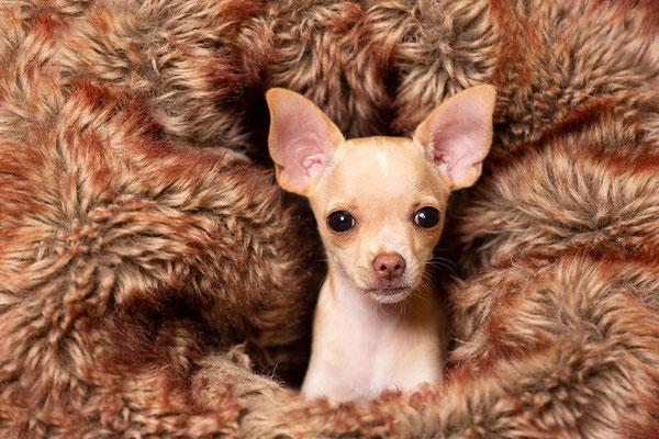 Tierfotografie, Hundeportrait, Hund, Chihuahua, Fotostudio
