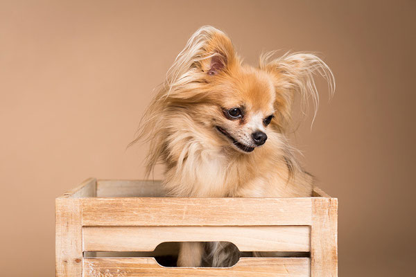 Tierfotografie, Hundeportrait, Hunde, Chihuahua, Fotostudio
