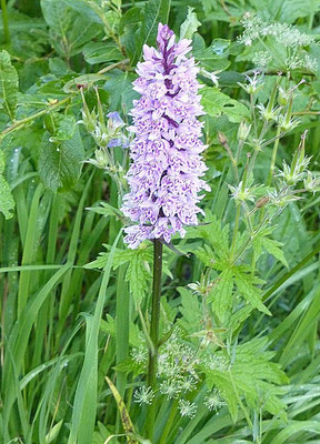 Beaucoup d'Orchis