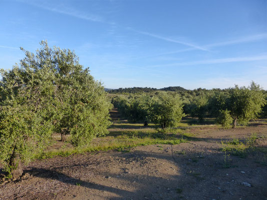Des champs d'oliviers à perte de vue