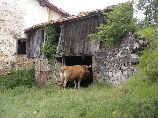 logis pour jolie vache