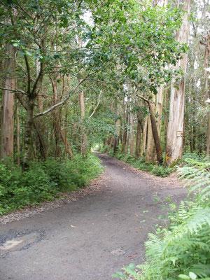La   forêt d'Eucalyptus