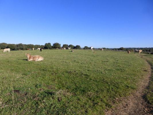 La prairies et ses bovins
