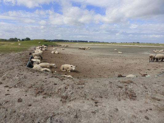 Dodo pour les moutons