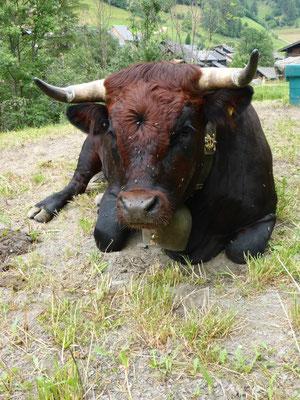 La vache d' Hérence