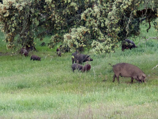 Les cochons noirs iberiques