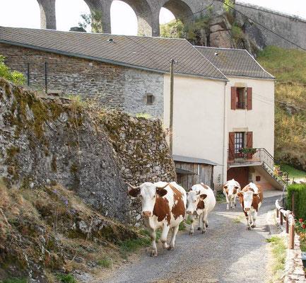 les vaches sont reines