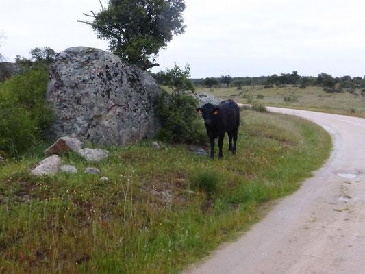 Beaucoup de petites vaches