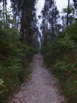 Nous sommes en forêt d'Eucalyptus