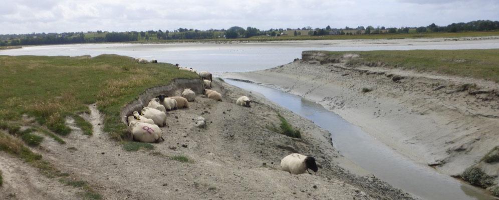 Les herbus, domaine des moutons du pré-salé