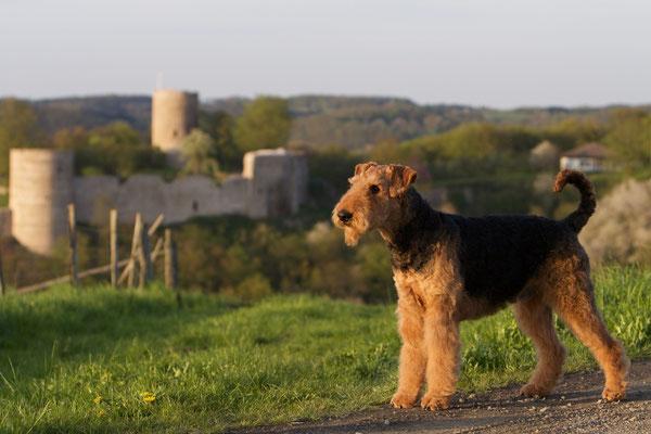 Frodo-Spencer vom roten Milan Hintergrund: Burg Blankenburg im Siegtal