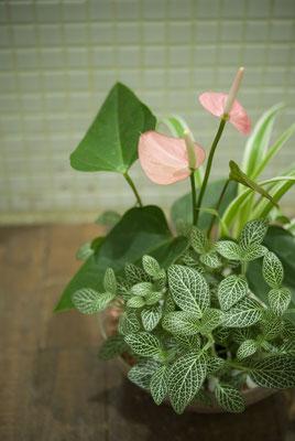 アンスリウムの寄植え 参考価格:¥4,000-(税抜)  Photo : Hajime Nonaka