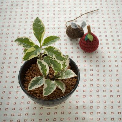 斑入りのマンリョウ 参考価格:¥3,000-(税抜)  Photo : Hajime Nonaka