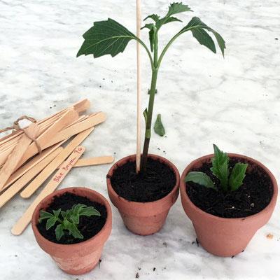 Dahlienstecklinge mit hölzernen Pflanzschildchen markieren damit man später noch weiß was man gepflanzt hat