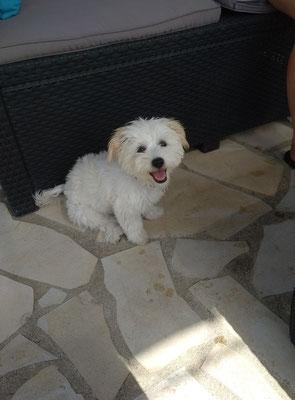 Lili 🐶❤️ Bichon Maltais, 4 mois. lors de son bilan