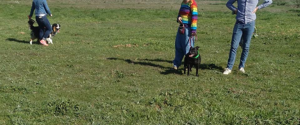 """Travail de Spyke (berger australien) sur sa réactivité congénères par frustration avec aboiements et débordements = 3eme séance sur ce thème (passage de réaction à plus de 100m lors de la première séance, à 30m lors de la 2eme séance et ici à environ 10m) travail en collaboration avec ma collègue et amie Nathalie """"Edu'keysdog"""" et son fidèle Iggy (Staffie)"""
