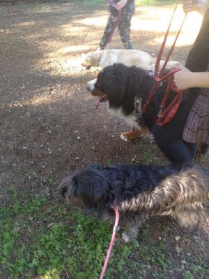 Séance savoir être en présence de congénères sans contact, dans le calme avec gestion de la frustration pour Nadjic (Bouvier Bernois) aidé par Obi (labrador) et Ice (ma chienne)