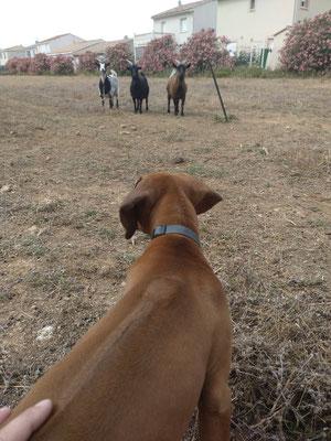 Socialisation/découverte des chèvres Pour Racaille 🐶❤️