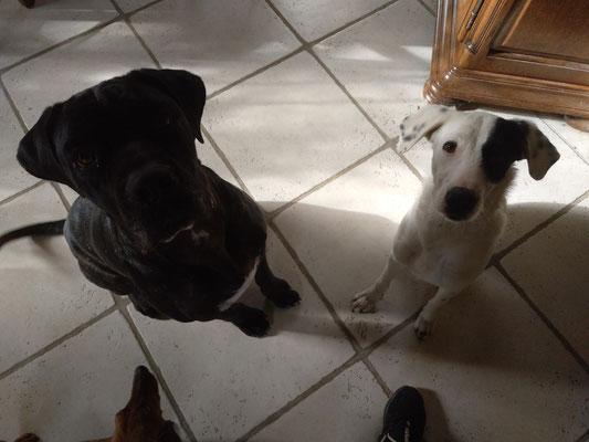 Napoléon (cane corso) et Nina (croisée Berger)