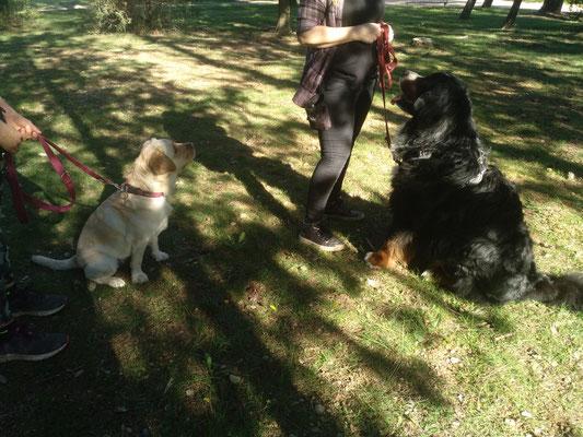 Séance savoir être en présence de congénères sans contact, dans le calme avec gestion de la frustration pour Nadjic (Bouvier Bernois) aidé par Obi (labrador)