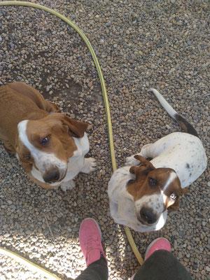 Penny et peanuts 🐶🐶 Basset Hound 6 mois. Frère et sœur