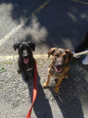 Bagheera (la noire) Scotty (le marron) frère et soeur malinois X Labrador
