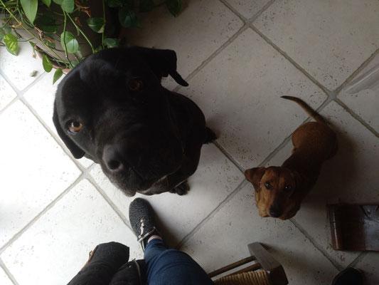 Napoléon (cane corso) et ficelle (teckel)