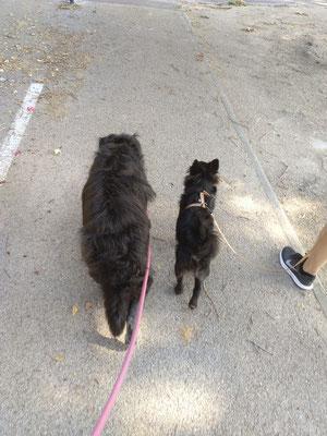 Marche en laisse pour Black🐶 accompagné de ma chienne Ice