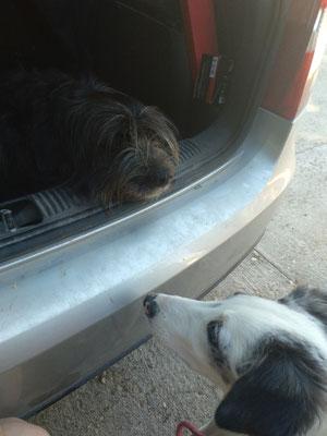 Désensibilisation à la voiture pour Happy 🐶 accompagnée de ma chienne Ice 🐶