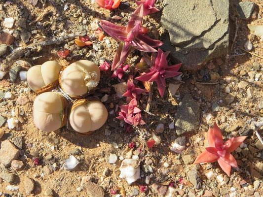 Sukkulenten Klein Karoo Südafrika 2016