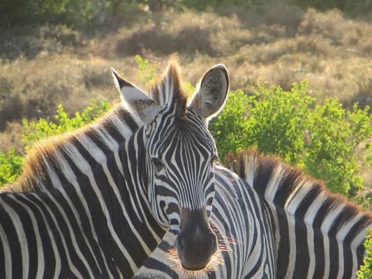 Zebras im Addo Südafrika 2014