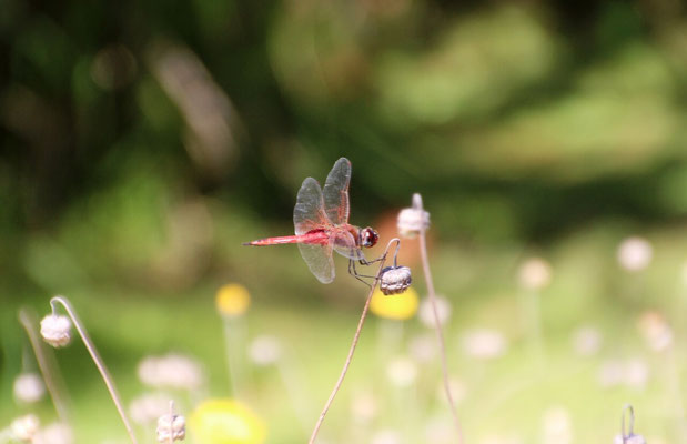 Dragon Fly in Kirstenbosch Südafrika 2014