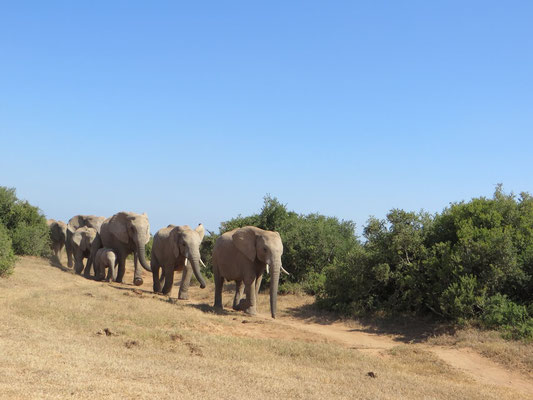 Elefanten im Addo Südafrika 2014