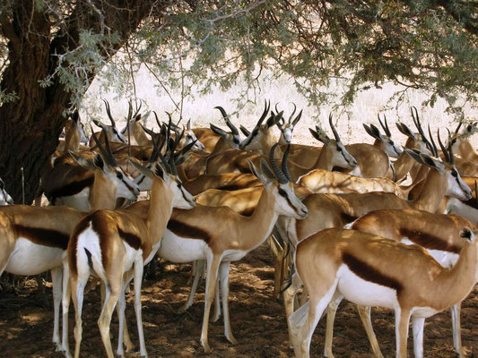 Springboks in Kgalagadi Südafrika 2012