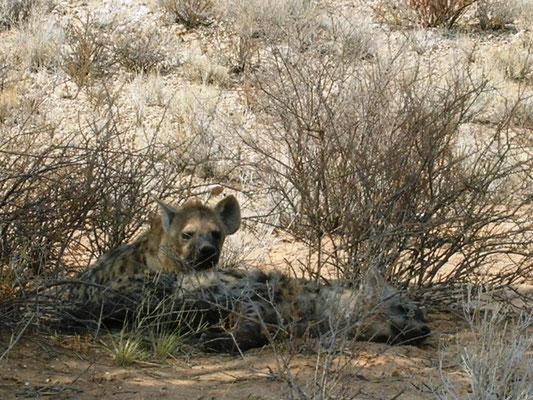 Hyänen in Kgalagadi Südafrika 2012