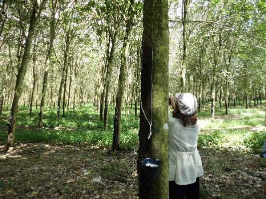 ゴムの木のプランテーション